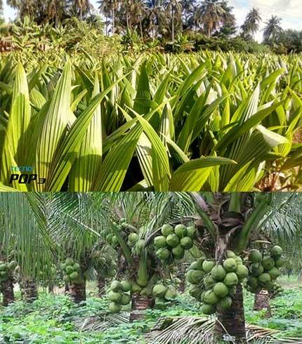 dwarf coconut seedling
