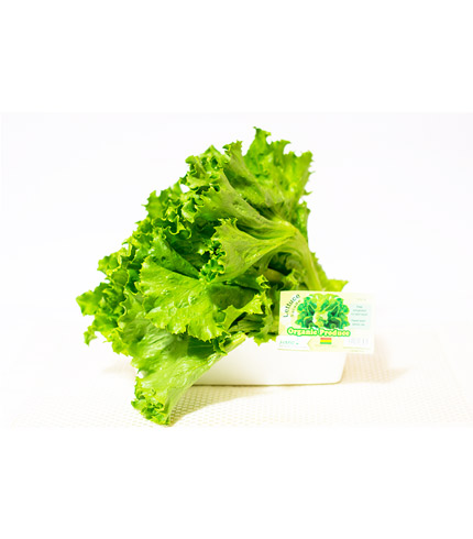 Fresh Organic Lettuce
